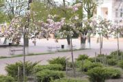 Сакури в цвіту